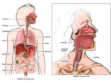 Anatomy of the Digestive and Respiratory Systems