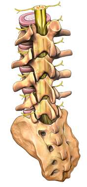 Lumbar Vertebrae and Sacrum with Spinal Cord, Posterior/Lateral View