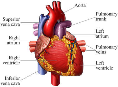 Heart Anatomy - Anterior (Front) View