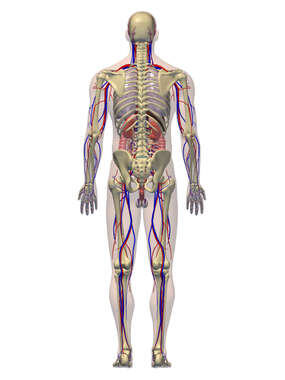 Anatomy of the Cardiovascular, Digestive, and Skeletal Systems, 3D Posterior Male