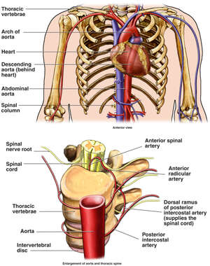 Anatomy of the Aorta and Spinal Arteries