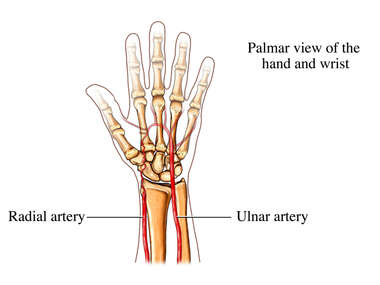Radial and Ulnar Arteries of the Wrist