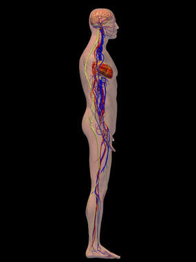 Cardiovascular and Nervous Systems - Right Lateral View