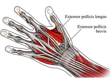 Extensor Tendons of the Thumb: Posterior (Back) View