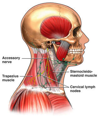 Lymph Nodes and Surrounding Muscles