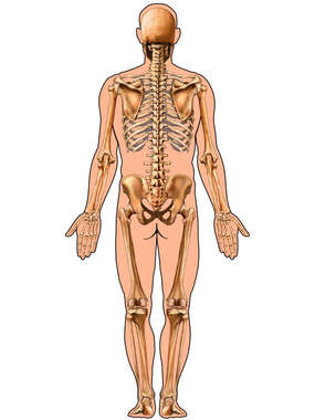 Male Figure Outline with Full Skeleton, Posterior View