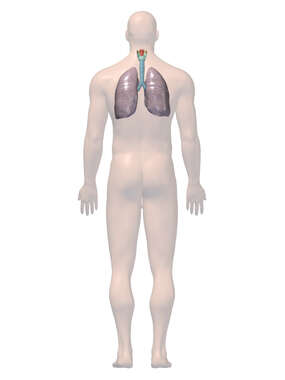 Anatomy of the Respiratory System, 3D Posterior Male
