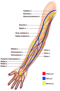 Anatomy of the Arm - Nerves, Arteries and Veins