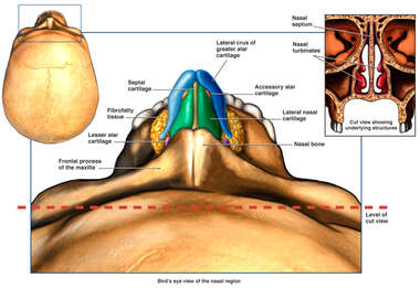 Anatomy of the Nasal Region