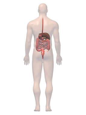 Anatomy of the Digestive  System, 3D Posterior Male