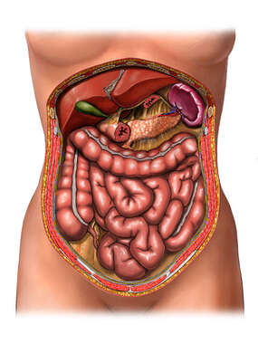 Digestive System Organs, Cut-away View