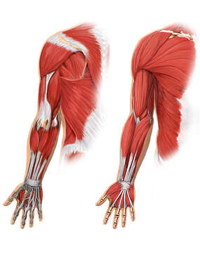 Anterior and Posterior Muscles of the Arm