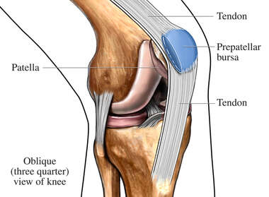 Bursa and Tendons of the Knee