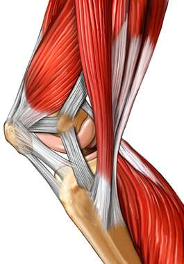 Musculature of the Knee: Medial View