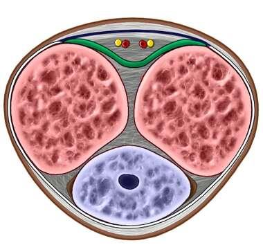 Penis: Cross Section