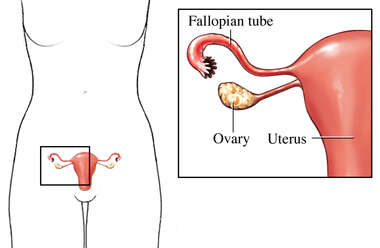 Fallopian Tube, Ovary and Uterus