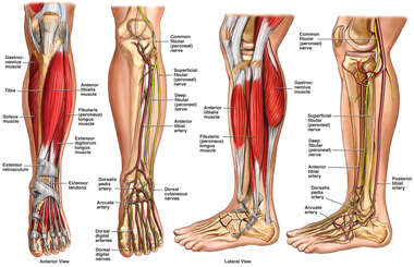 Anatomy of the Lower Leg