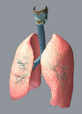 3D Lungs and Trachea