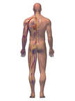 Anatomy of the Cardiovascular and Nervous Systems with Skin, 3D Posterior Male