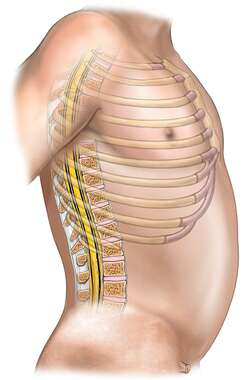 Lateral Orientation of Spine and Ribs within the Thorax
