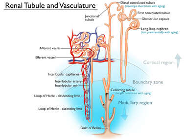 Anatomy of Renal Tubule and Vasculature