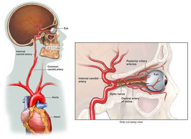 Blood Supply to the Eye and Optic Nerve