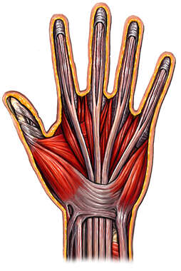 Hand with Muscles and Ligaments, Palmar View