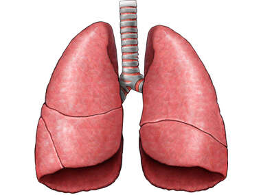 Lungs- Anterior view