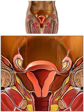 Anatomy of the Female Reproductive System