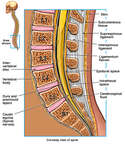 Anatomy of the Lumbosacral Spine