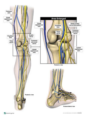 Anatomy of the Right Lower Leg