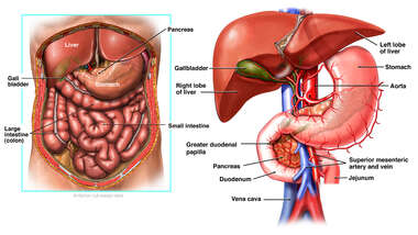 Anatomy of the Biliary Region of the Digestive System