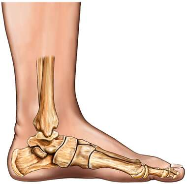 Bones of the Foot: Medial View