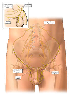 Ilioinguinal Nerve Supply to Testicles