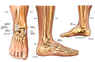 Anatomy of the Foot / Ankle