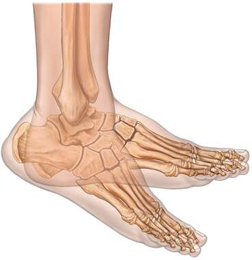 Foot Flexion with Bones, Lateral View