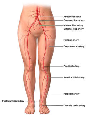 Arterial Supply of the Lower Extremities