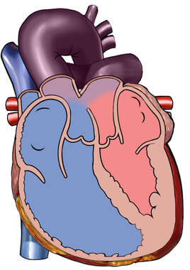 Transposition of the Great Arteries Bloodflow