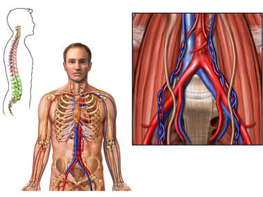 Anatomy of the Abdominal Blood Vessels