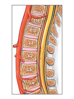 Abdominal Aorta and Spinal Radicular Branches