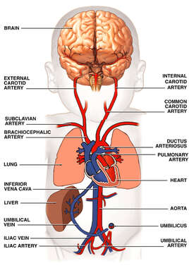 Circulatory (Cardiovascular) System of Newborn Infant