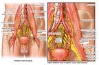 The Innervation and Blood Supply of Bladder