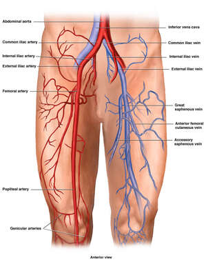 Vasculature of the Lower Extremities