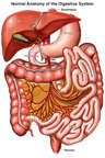 Anatomy of the Digestive System (Reflected Small Intestine)