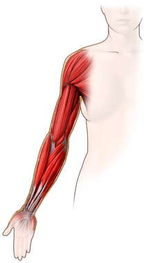 Muscles of the Arm: Anterior View