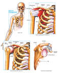 Anatomy of the Shoulder and Rotator Cuff