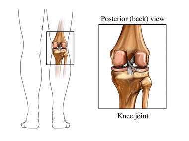 Knee Joint - Posterior View