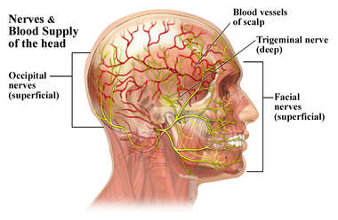 Vasculature and Nerves of the Head