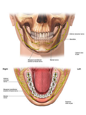 Normal Anatomy of the Lower Jaw