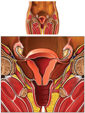Female Reproductive System, Cut-away View